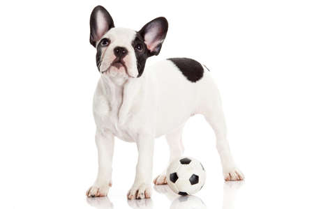 French bulldog puppy with toy  ball over white photo