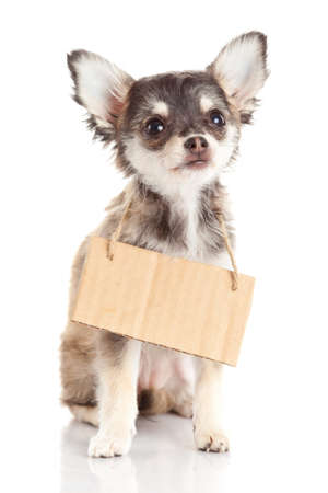 Chihuahua puppie  with empty cardboard.  Dog holding a homeless photo