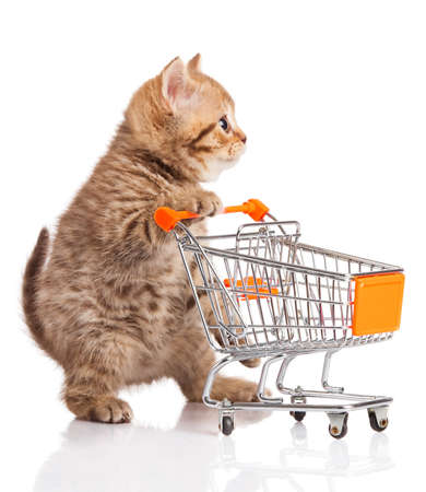 purebred cat: british cat with shopping cart isolated on white. kitten osolated