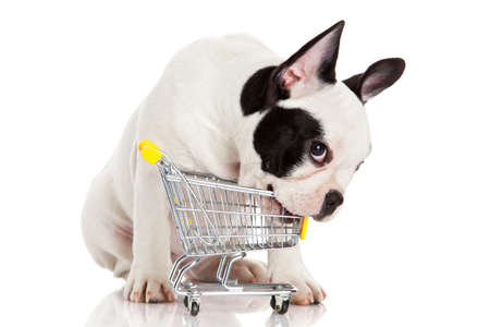 French Bulldog with shopping cart isolated on white. Funny little dog. photo