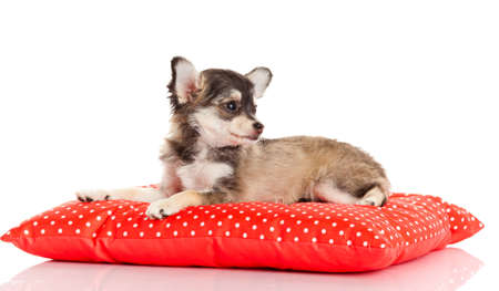 chihuahua dog: Chihuahua dog on red  pillow isolated on white background
