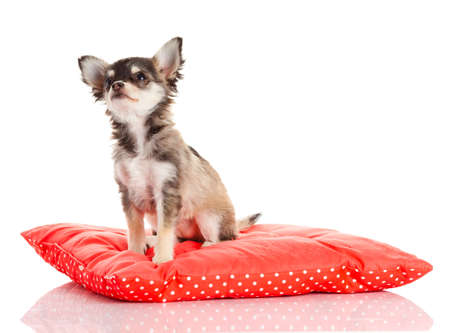 Chihuahua dog on red  pillow isolated on white background. portrait of a cute purebred puppy chihuahua photo