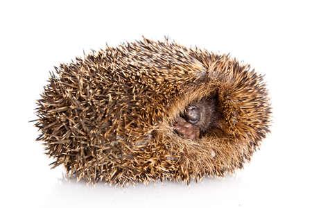 Hedgehog on a white background photo