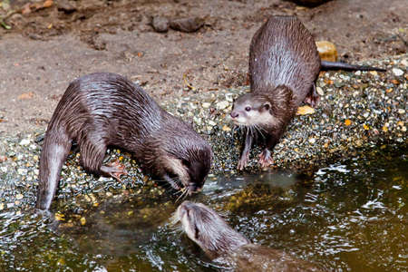 small clawed: clawed otters. An Oriental Small Clawed Otter (Aonyx cinereus)