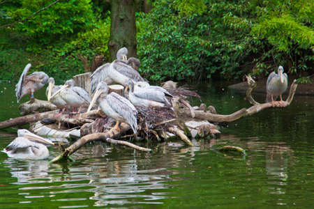 group of  white Pelicans. Pelican nest photo