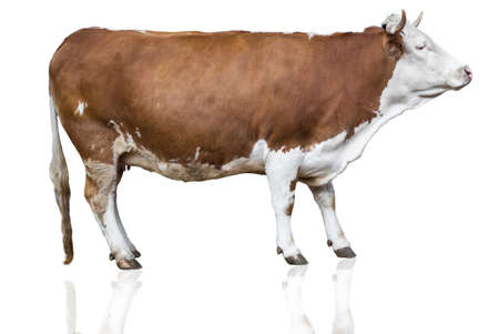 cow head: cow isolated on white