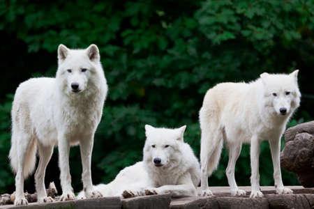 Arctic Wolves photo