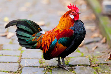 cockrel: Beautiful Rooster.
