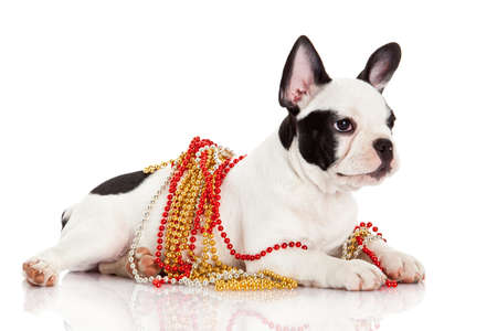 Adorable  French Bulldog  wearing  jewelery on white background. French bulldog puppy portrait over white background photo