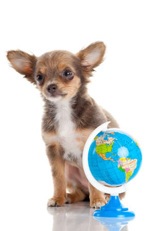Funny puppy Chihuahua. puppy with a  globe isolated Stock Photo - 22501184