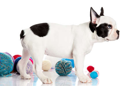 French Bulldog  puppy with a wool balls isolated on white background. photo