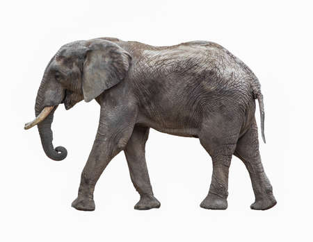 africana: Elephant isolated on white Stock Photo