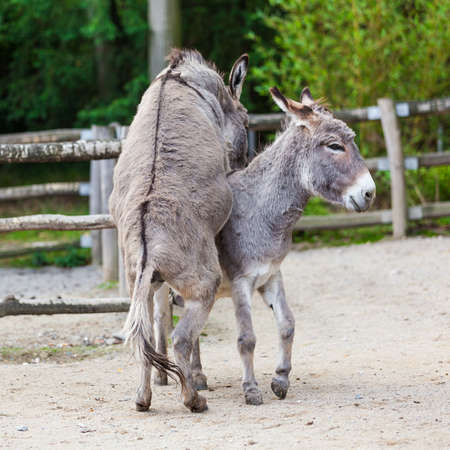 Two donkeys photo