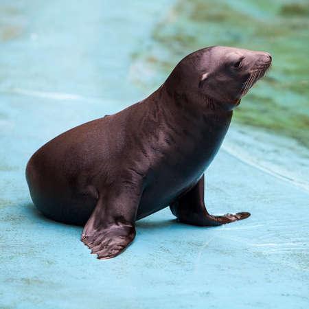 animales del zoo: Sea Lion. Selle Foto de archivo