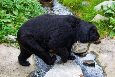 Black Bear Stock Photo - 22727621
