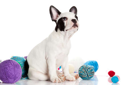 French Bulldog  puppy with a wool balls  photo