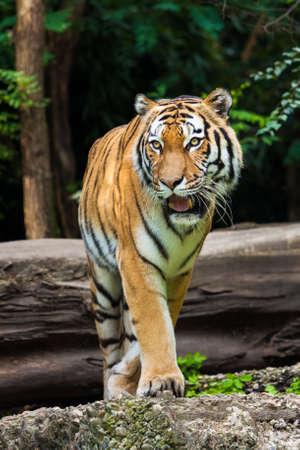 gaze: Tiger