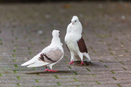 two loving  doves. Two pigeon photo