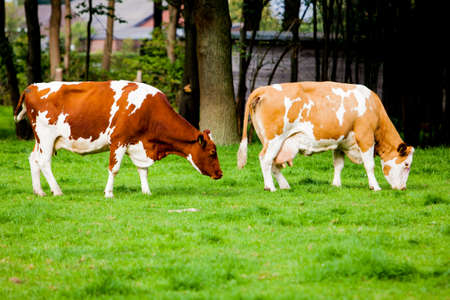 heffer: cows on meadow Stock Photo