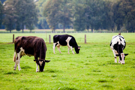 cattle grazing: cows on meadow Editorial