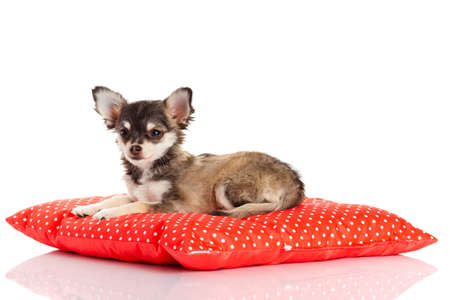 perro chihuahua: Chihuahua perro en la almohada de color rojo sobre fondo blanco. retrato de un cachorro de pura raza chihuahua lindo
