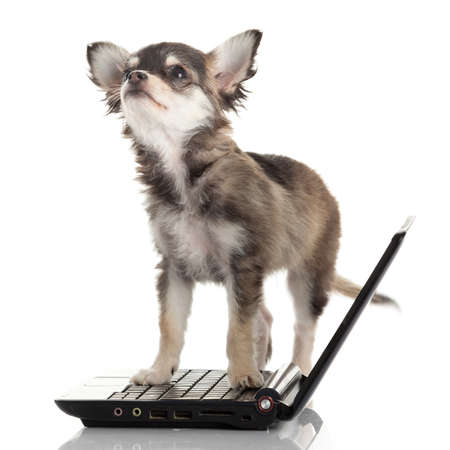 Portrait of a cute chihuahua dog in front of a laptop on white background. photo