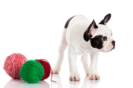 French Bulldog  puppy with a wool balls isolated on white . photo