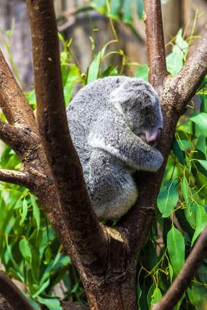 Sleeping koalas. Koala Bear photo