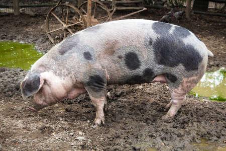 muck: Pig