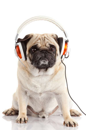dog listening to music. Pug Dog isolated on White Background photo