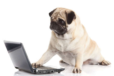 pug puppy: Pug Dog with laptop. Stock Photo