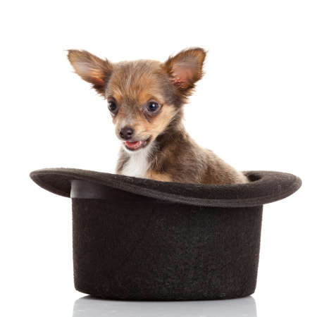 chihuahua puppy in a hat. photo