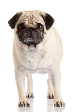 pug dog isolated on a white background photo