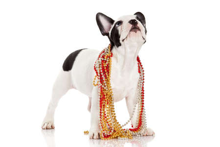 Adorable  French Bulldog  wearing  jewelery on white  photo