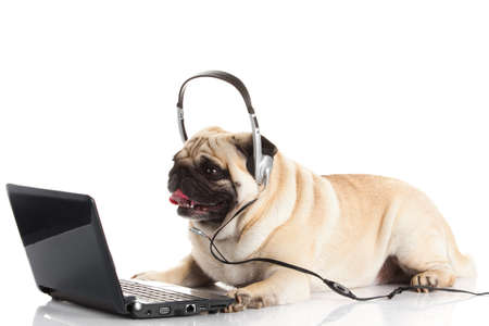 whelp: Pug Dog with laptop. Stock Photo
