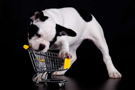 French Bulldog playing with a supermarket cart. Funny little dog. photo