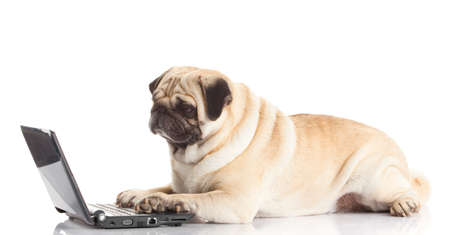 Pug Dog with laptop. Archivio Fotografico
