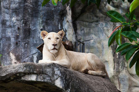 white lion. photo