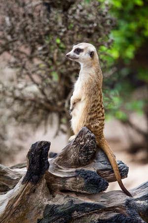 suricate: Meerkat or Suricate.