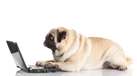 Pug Dog with laptop. photo