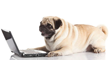Pug Dog with laptop. Stock Photo