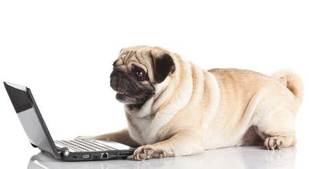 Pug Hond met laptop.