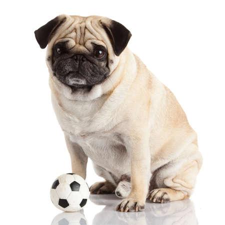 pug dog isolated on a white  photo