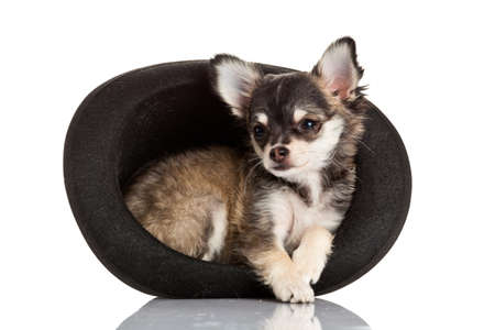 Chihuahua puppy  sitting in top hat. photo