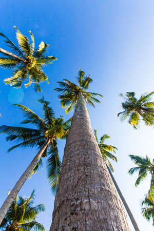 nice palm trees in the blue sunny sky. Three palm trees against a blue sky photo