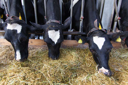 beef cattle: Cows on Farm Stock Photo
