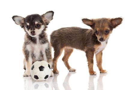 chiwawa: Two chihuahua puppies.
