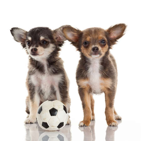 Two chihuahua puppies. photo