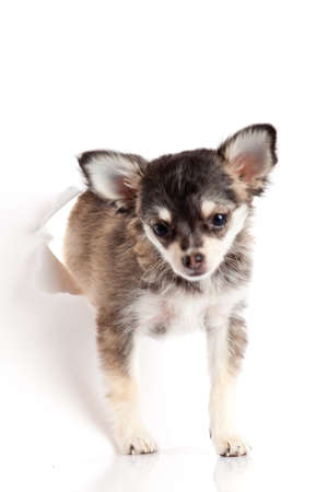 chihuahua puppy in paper photo