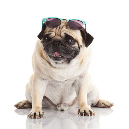 Pug dog with sunglasses photo